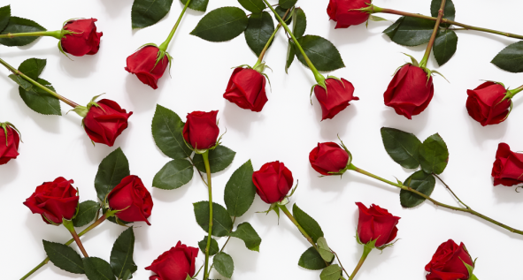 7-31_History-Meaning-of-Red-Roses_MainHero-1024x549.png